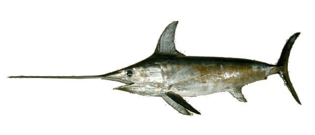 pez espada min