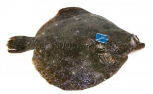 Rodaballo de + 1 kil gallego piscifactoria