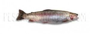 trucha piscifactoria arcoiris